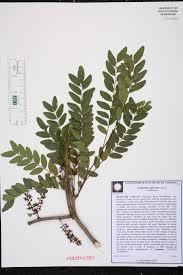 native plants of south carolina gleditsia aquatica species page isb atlas of florida plants