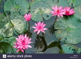Floating Flowers Floating Flowers Of Red And Blue Water Lily Nymphaea Nouchali