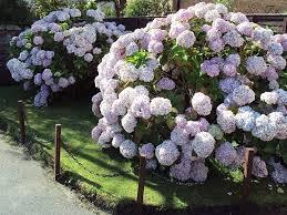 potare le ortensie in vaso potare le ortensie potatura potare le ortensie giardinaggio