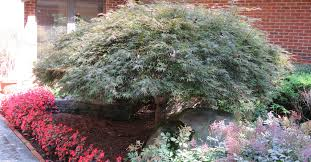 ornamental tree pruning consultree
