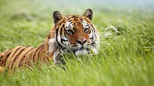 tiger hd wallpapers 1920x1080 on wallpaperget com