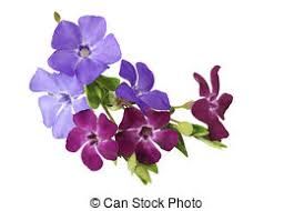 Vinca Flowers Vinca Stock Photo Images 805 Vinca Royalty Free Pictures And