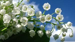of the valley flower of the valley flower 4k hd desktop wallpaper for 4k ultra