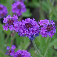 verbena flower verbena plant care guide and varieties auntie dogma s garden spot