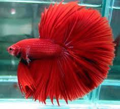 the most wanted ornamental fish ghazuth