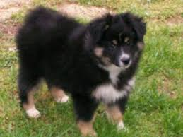 australian shepherd indiana miniature australian shepherd puppies for sale