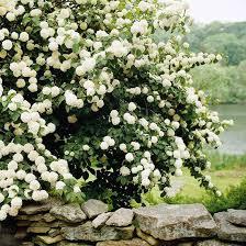 Flowers For Backyard by Best Flowering Shrubs For Hedges Snowball Viburnum Backyard