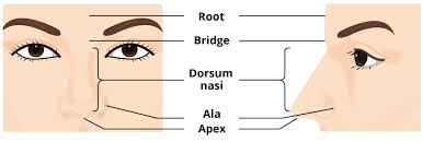 Male External Anatomy The External Nose Muscles Innervation Teachmeanatomy