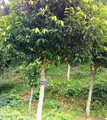 Teh Gaharu manfaat kesehatan dari daun gaharu yang dijadikan teh gaharu