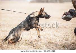 working german shepherd puppy games stock images royalty free