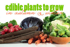 Fall Vegetable Garden Plants by Edible Plants That You Can Grow In Autumn And Winter Plastic