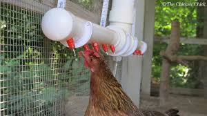 the chicken clean water the advantages of poultry