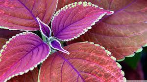 purple plant 4k hd desktop wallpaper for 4k ultra hd tv u2022 wide