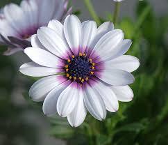 white flower seeds white cape purple center flower garden 25