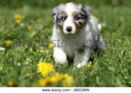running with australian shepherd puppy australian shepherd puppy meadow head on run eye contact
