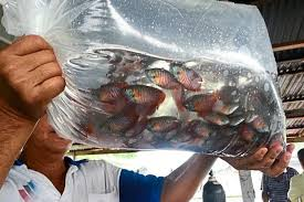 fish breeders survive hardships and even penetrate export market