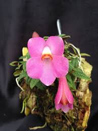 pictures of orchids golden gate orchids buy live orchids tropical plants