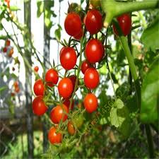 v200 seeds tomato seeds fruits vegetables seeds small