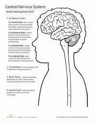inside out anatomy the brain life science worksheets