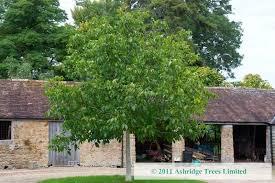 walnut saplings buy ashridge nurseries