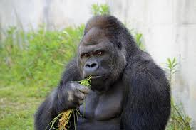 Gorilla Meme - shabani the gorilla know your meme