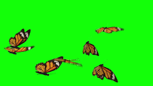 several beautiful butterfly green screen stock footage