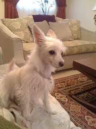 american eskimo dog brown didi the american eskimo dog mix designer dog photo gallery 8380