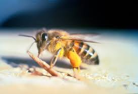 africanized honey bees come from and what u0027s up now
