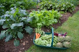 re planting a mid summer vegetable garden u2013 a 2nd chance for harvest