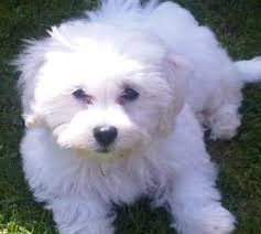 bichon frise dogs for adoption is a bichon maltese mix the right dog for you