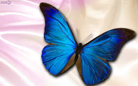 blue butterfly wallpaper hd pixelstalk net