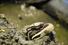 Pleins De Crabe Violonistes Très Crabe Violoniste Photo De Parc Des Mamelles Le Zoo De Guadeloupe