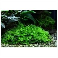 Aquascape Fish Spiky Moss 6x6cm Mesh Aquarium Aq End 12 21 2018 12 15 Pm