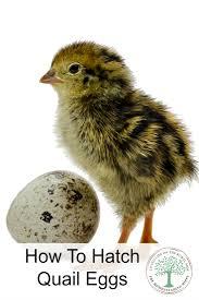quail hatching vertical jpg