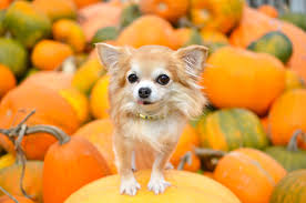 halloween is all tricks and few treats for pets south florida