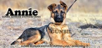 Seeking German German Shepherd Attention Seeking And Destructiveness