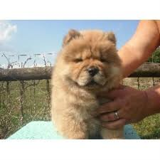 affenpinscher for sale ohio glamar chows chow chow breeder in lucasville ohio