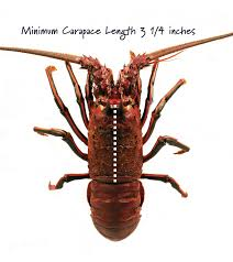 california spiny lobster fishery u2014 follow your fish