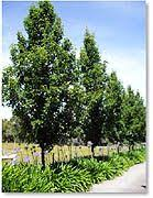 upright ornamental pear trees pyrus calleryana capital yard