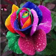 color roses 150pcs beautiful rainbow colored seeds multi