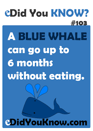 baby blue whales gain 250 pounds a day facts animals