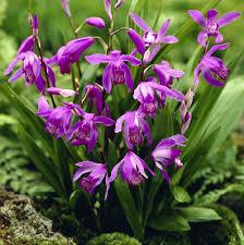 fleurs vivaces rustiques les orchidées vivaces de phytesia phytesia