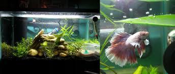 betta than a bowl betta fish aquariums u0026 betta tank inspiration