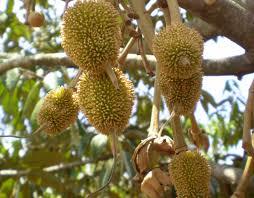 185 best fruit plants u0026 trees images on pinterest fruit plants