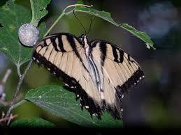 eastern tiger swallowtail papilio glaucus linnaeus 1758