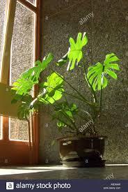 ceriman swiss cheese plant split leaf philodendron window leaf