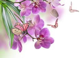 insects butterflies orchid animals flowers butterfly f wallpaper