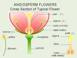 Style Flower Part - parts of a rose botanists group species of plants or from the