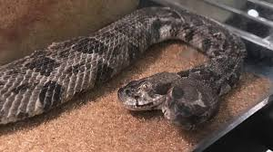how to recognize venomous snakes in alabama whnt com