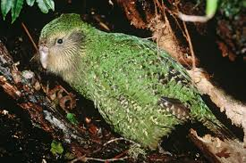 kakapo new zealand birds online